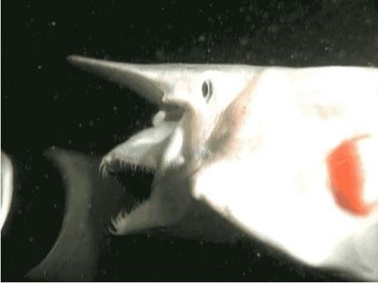 공포의 상어, 고블린 상어