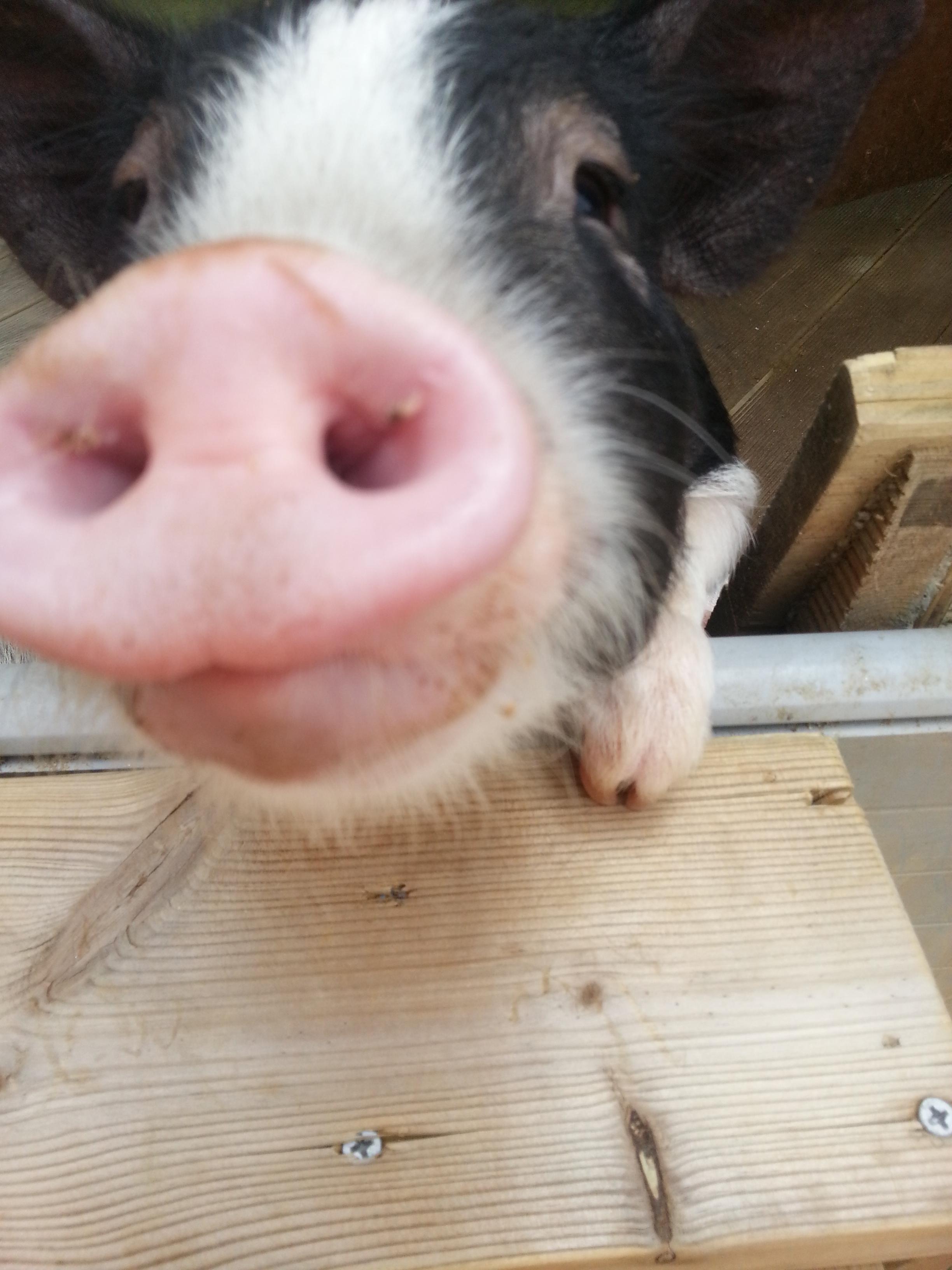 돼지를 보러가다