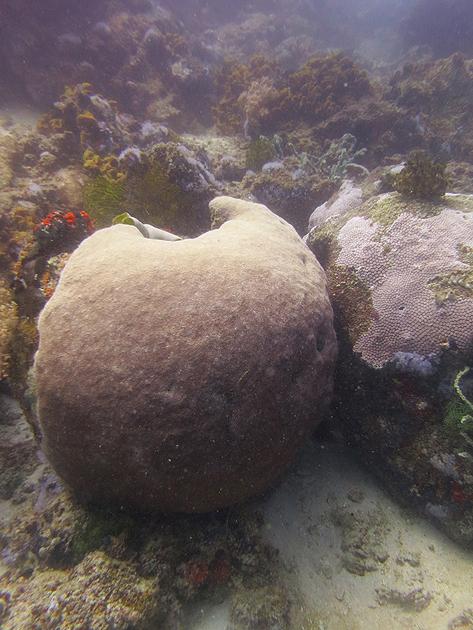 쪼개놓은 사과 모양의 특이한 산호 - 아포섬 맘사, ..
