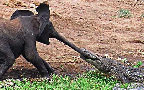 악어한테 코 물린 코끼리 씨 뿜었닼ㅋㅋㅋㅋㅋ