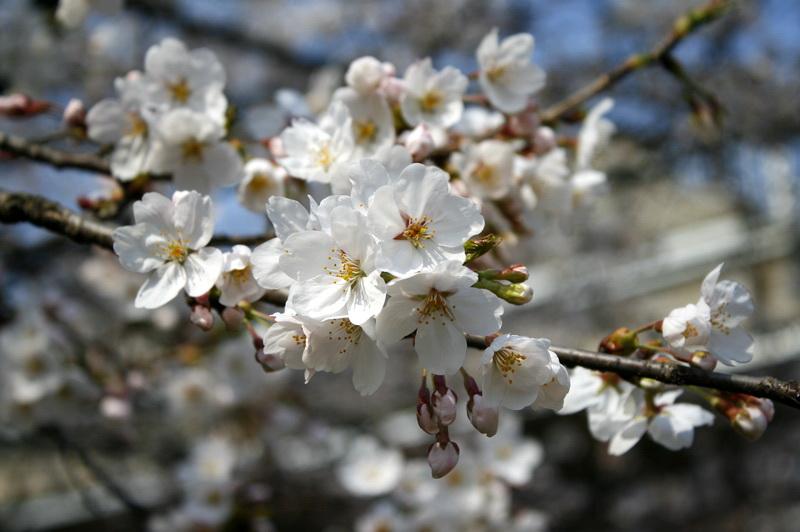 일산호수공원 벚꽃, 오늘