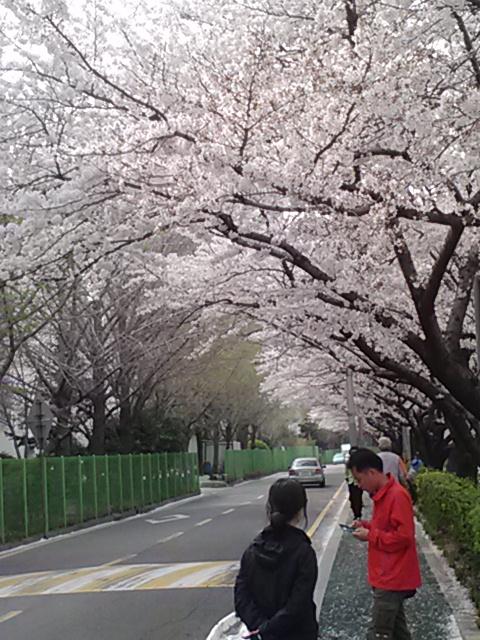 벚꽃나무 아래 봄