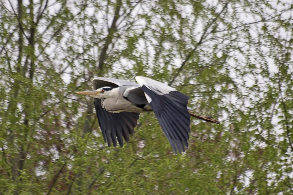 왜가리(Gray Heron)의 비행사진입니다.