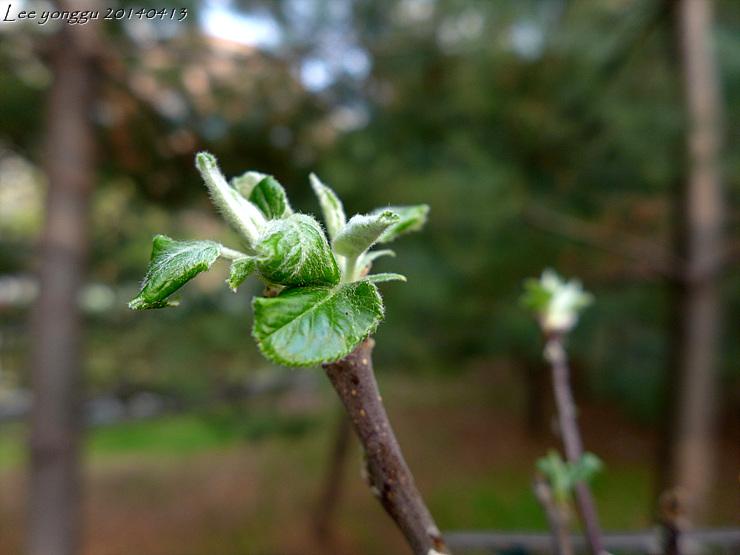 사과나무 새싹