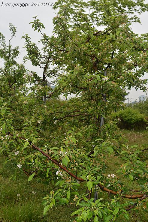 사과꽃, 사과나무