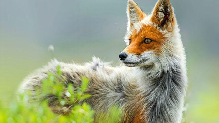 털갈이 시기의 여우를 찍은 사진이 멋지네요.