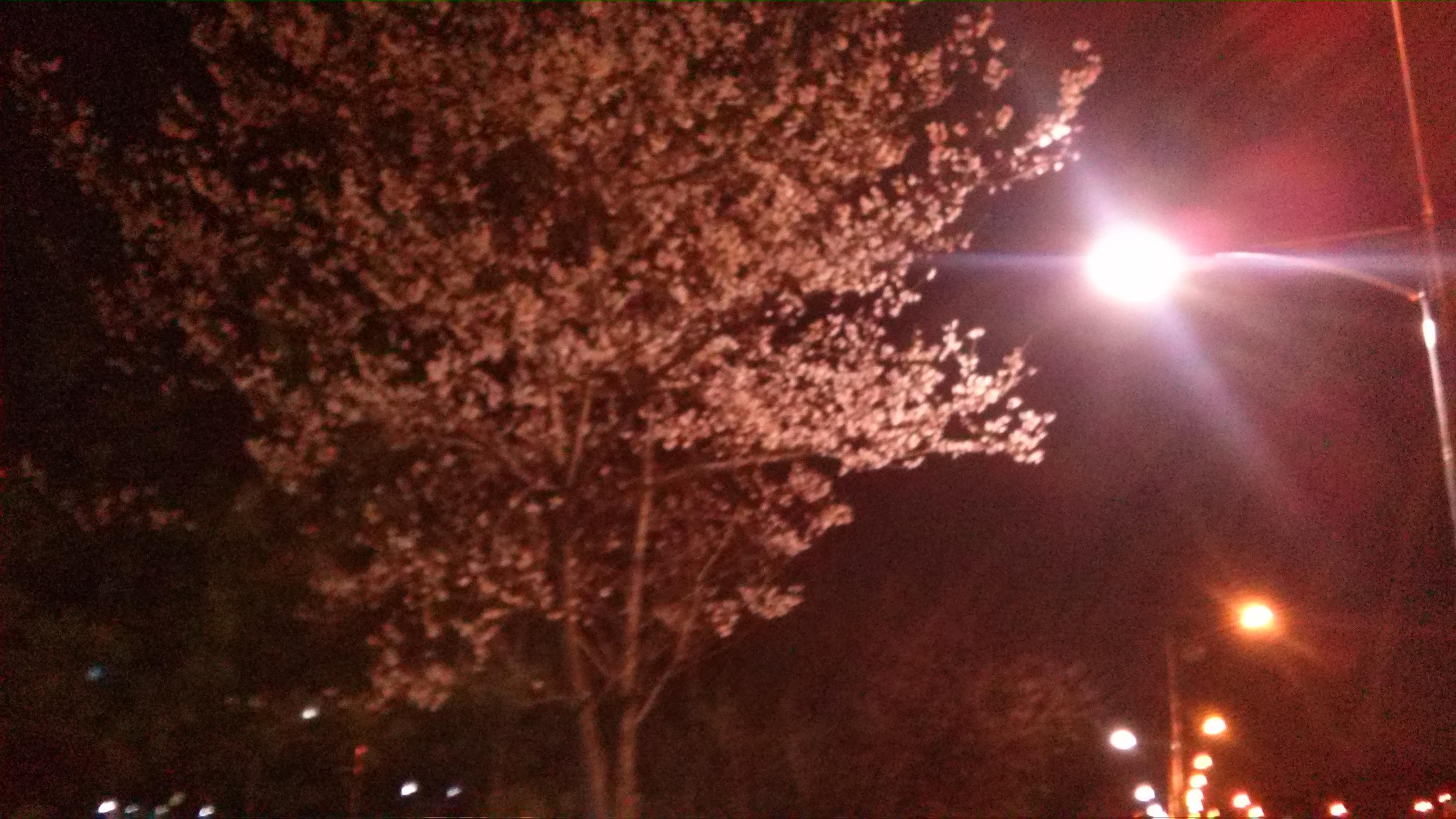 벚꽃이 피었습니다.
