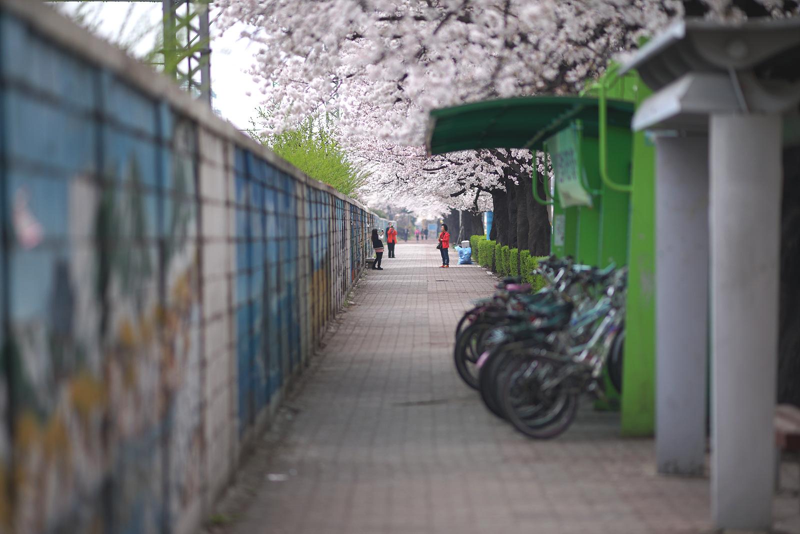 봄날의 금정역 벚꽃피다.