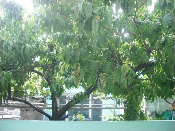 복숭아나무,수간주사용 복합 식물영양제,개망..