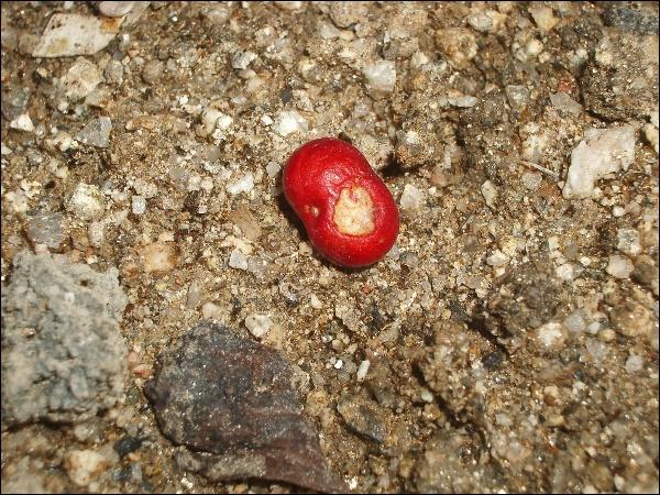 인삼씨 심기,방울토마토 뽑기,주워온 나무열매 심기