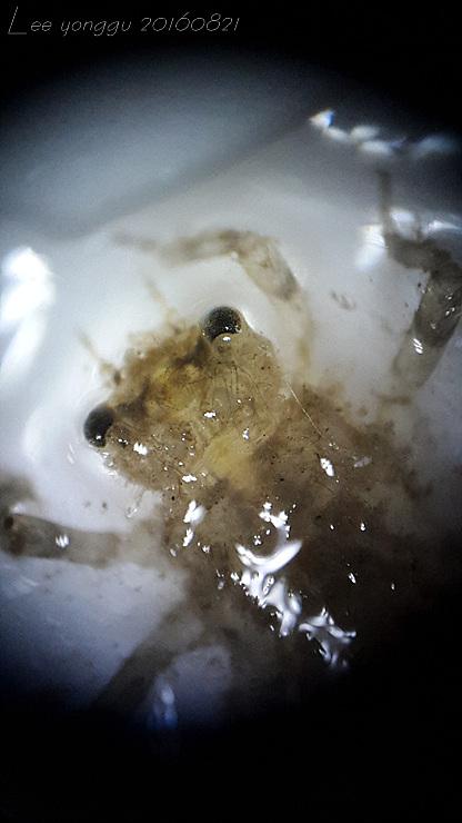밀잠자리 유충 (2)
