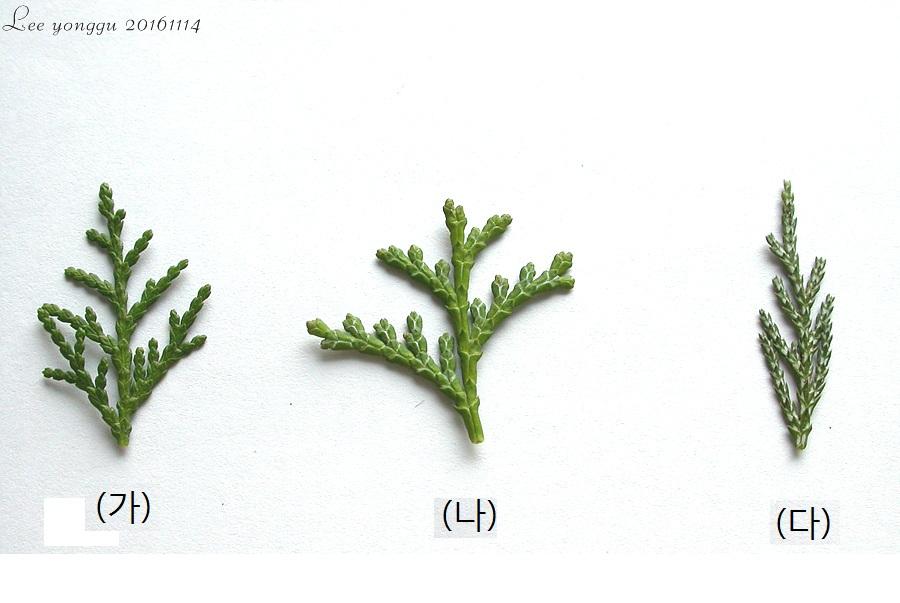 측백, 편백 그리고 화백나무 비교