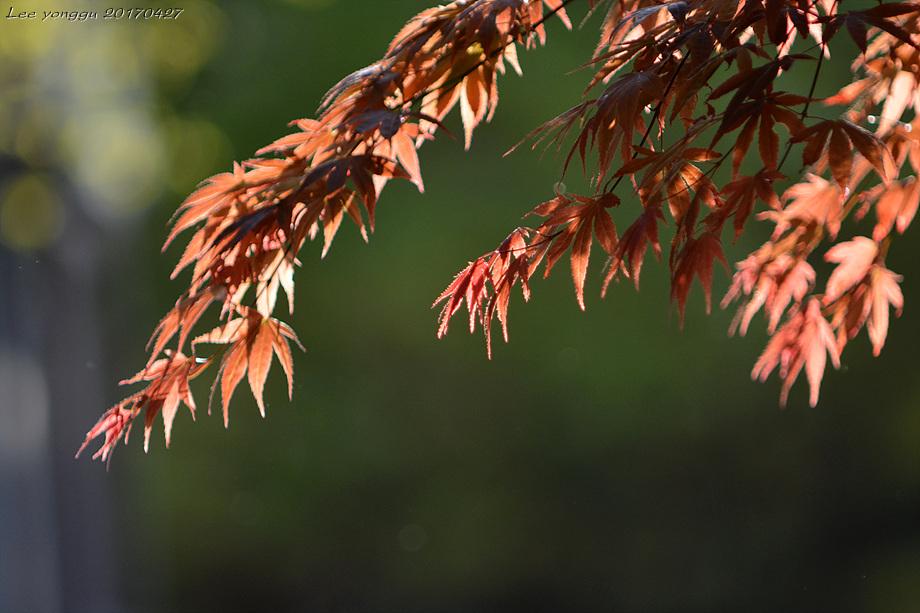 햇살에 빛나는 단풍나무 잎