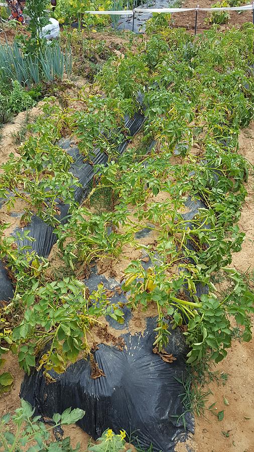6월 25일 두백 감자 수확