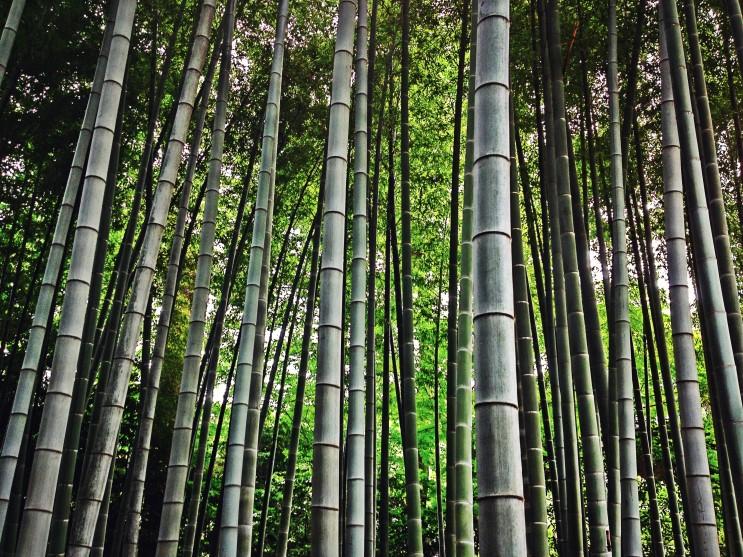 스기나미구 대나무