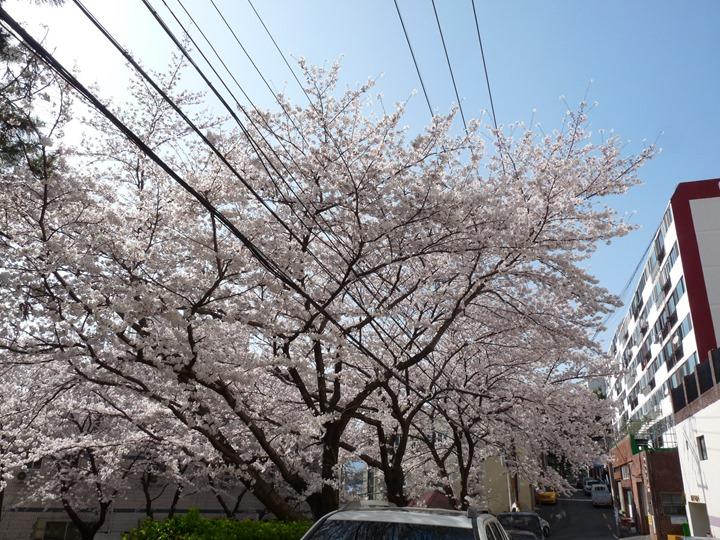 동네 쉼터 공원의 벚꽃 천국.