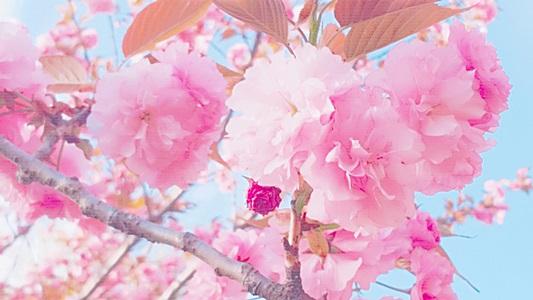 아름다운 서울대공원 동물원의 겹벚꽃(왕벚꽃)