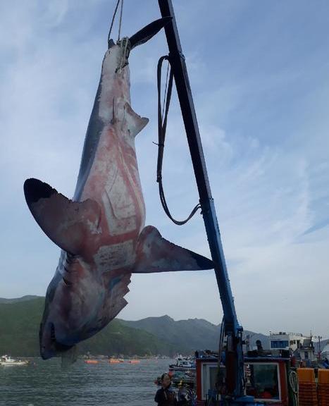 거제 앞바다에서 잡힌 상어 백상아리