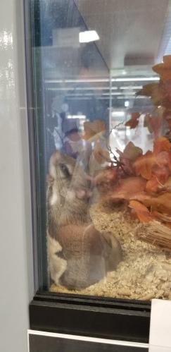 반려동물 하늘다람쥐