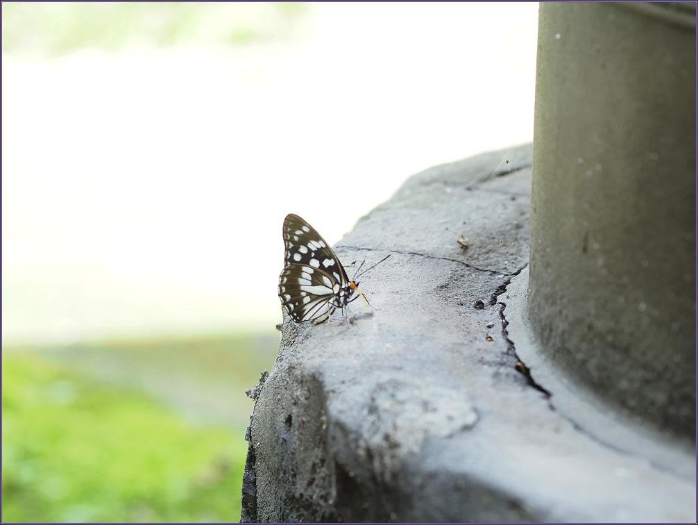 흑백알락나비 여름형  ~ 솥전에 날아온 손님