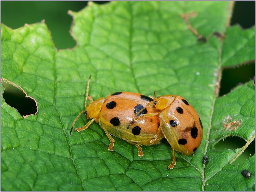 열점박이별잎벌레